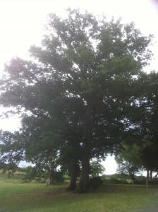 Un chêne impressionnant