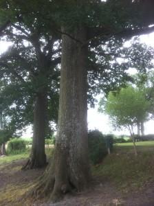Un chêne remarquable