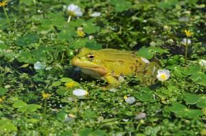 grenouille verte dans le bassin des douves